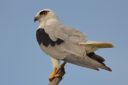 black-shouldered kite (1)