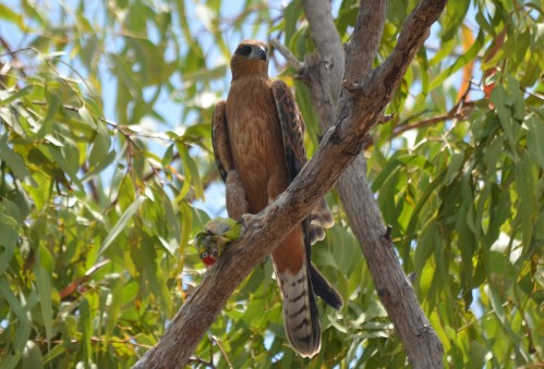 BARG_Red Goshawk (1)