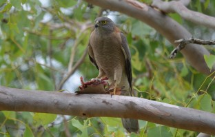Brown Goshawk_Moil school_111118 (6)