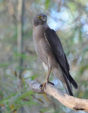 Collared Sparrowhawk female marrakai (1)