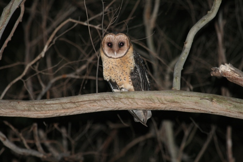 Masked Owl (female)
