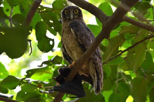 Rufous Owl January 26 (1)