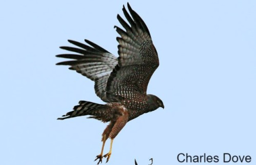 Spotted-Harrier - Copy (1)