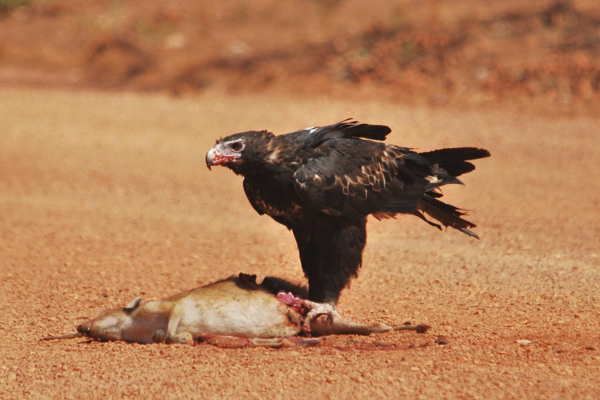 Wedge-tailed Eagle roadkill (4)